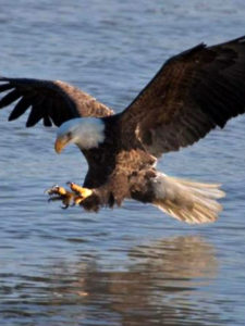 See majestic birds during Eagle Days at Smithville Lake, around Missouri