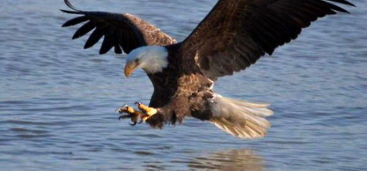 See majestic birds during Eagle Days at Smithville Lake, around Missouri